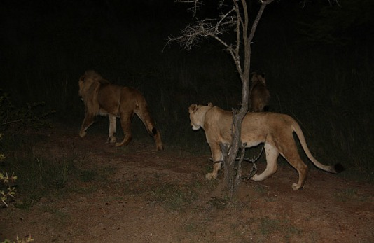 1.1327430480.lion-hunting