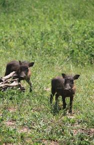 1.1327604237.baby-warthogs
