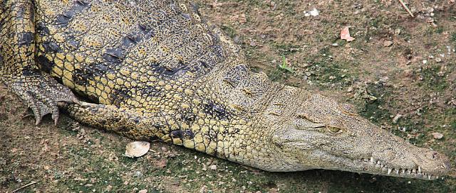 1.1327604237.nile-crocodile