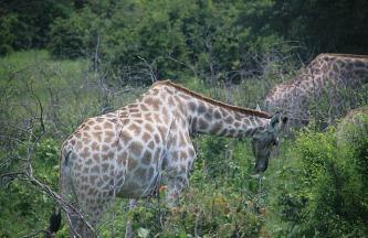 1.1327604237.southern-african-giraffe