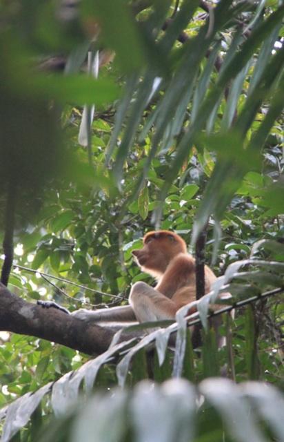 1.1328458542.bako-probiscis-monkey