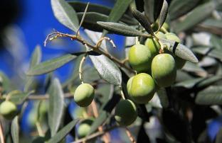 1.1347983755.olives