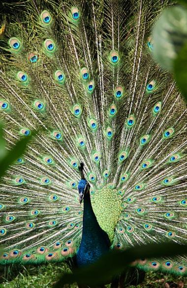 1.1354300988.2-peacock