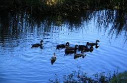 1.1355397428.ducks