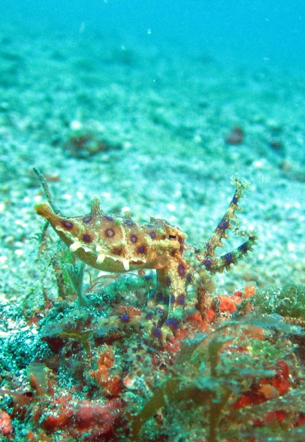 1.1359146789.blue-ringed-octopus