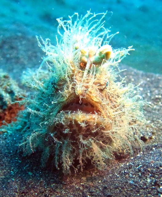 1.1359146789.hairy-frogfish