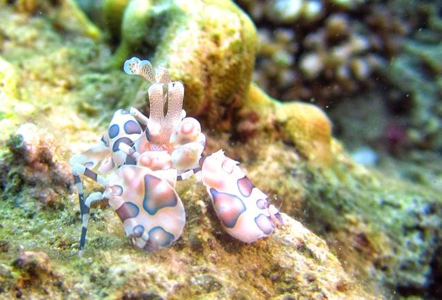 1.1359146789.harlequin-shrimp