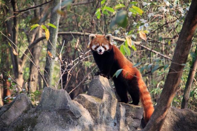 1.1362814429.red-panda