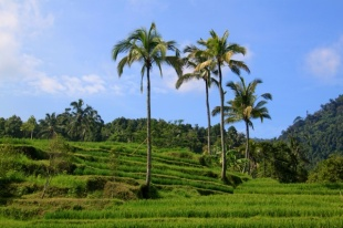 1.1365292800.fields-of-rice
