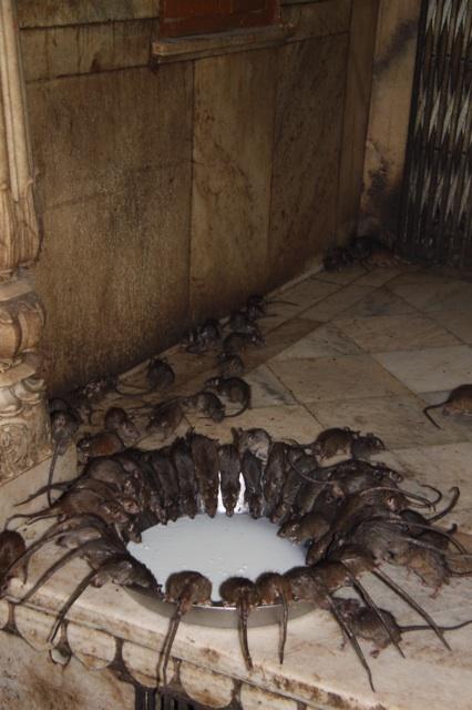 1.1366265142.rat-temple