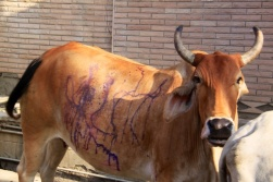 1.1366801948.purple-cow