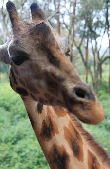 1.1325773527.2-langata-giraffes---rothschild