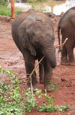 1.1325773527.4-sheldricks-elephants