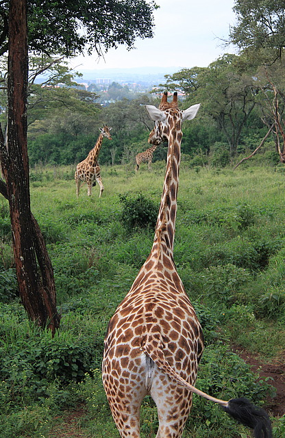 1.1325773527.langata-giraffes---rothschild