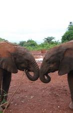 1.1325773527.sheldrick-elephants