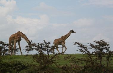 1.1325773653.giraffes