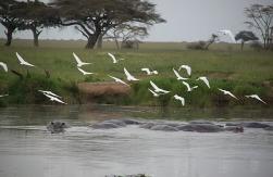 1.1325773653.hippo-and-white-egret