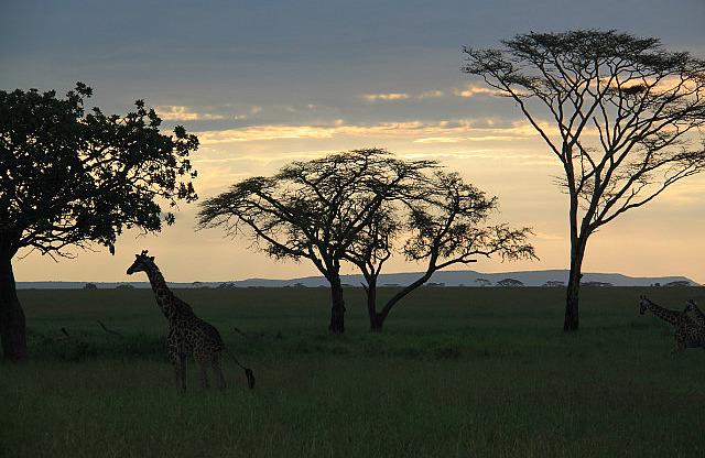 1.1325773653.sunset-giraffe