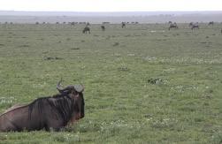 1.1325773653.wildebeeste-on-the-plains
