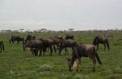 1.1325773653.wildebeeste