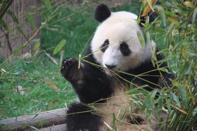 1.1368144000.china-pandas