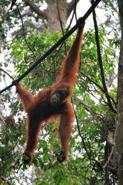 1.1368144000.malaysia-orangutan