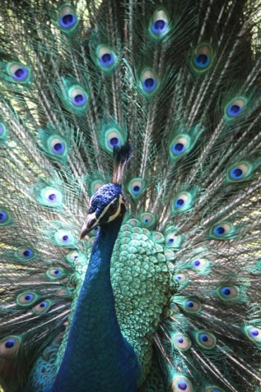 1.1368144000.malaysia-peacock