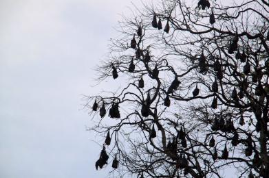 2.1383837621.fruit-bats