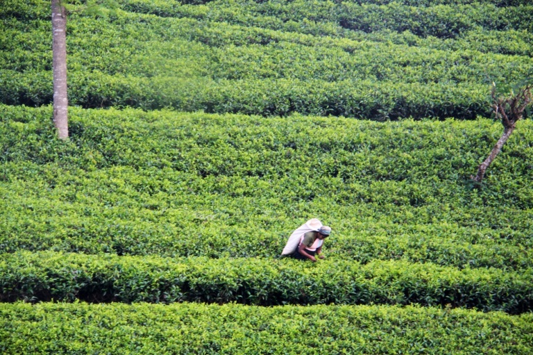 2.1383881611.1-tea-picking