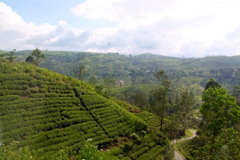 2.1383881611.train-scenery---tea-plants