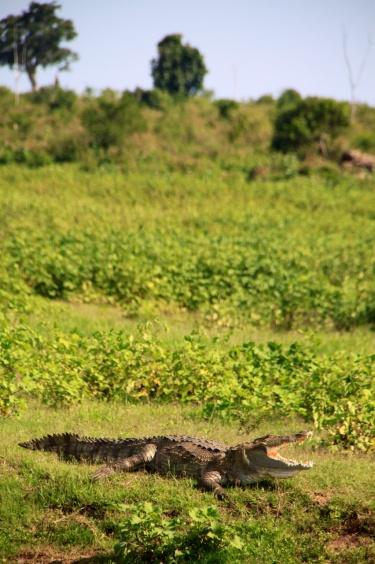 2.1384128000.alligator