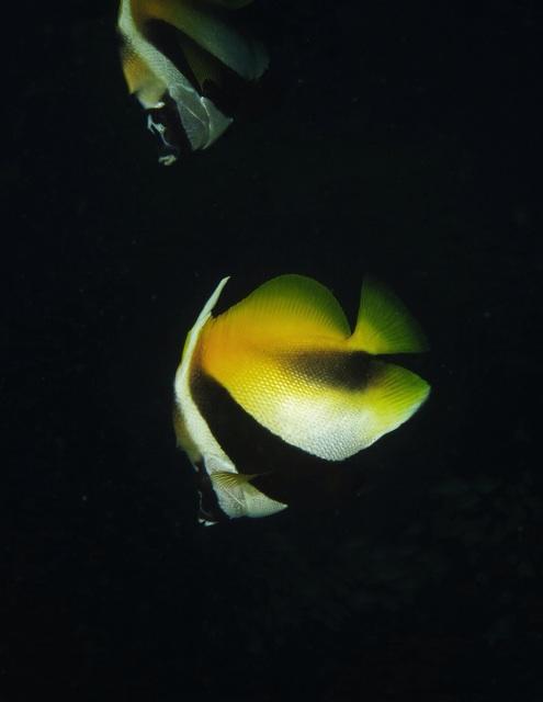 2.1384905600.bannerfish