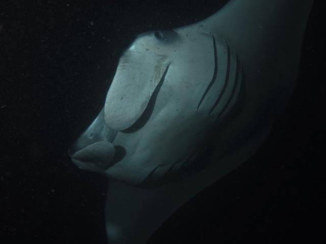 2.1384905600.night-diving-with-mantas