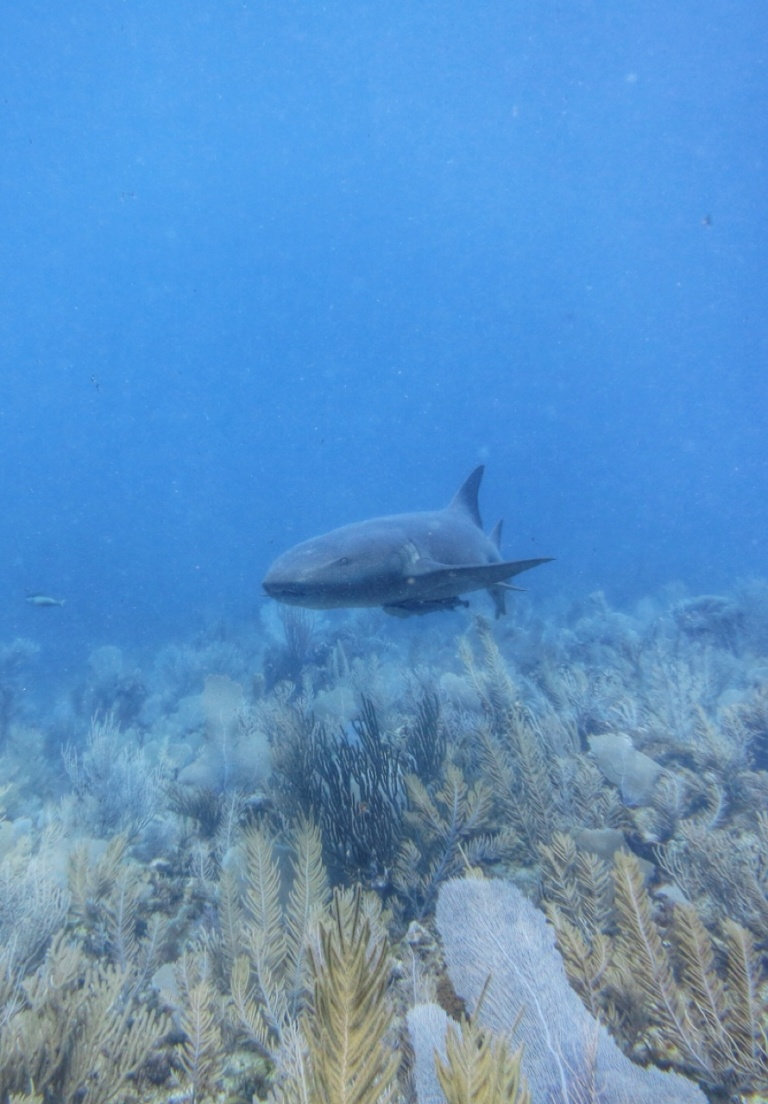 3.1397520000.1-nurse-shark