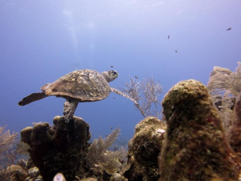3.1397952000.hawksbill-turtle