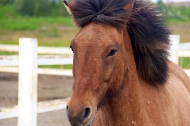 3.1409184000.icelandic-horse