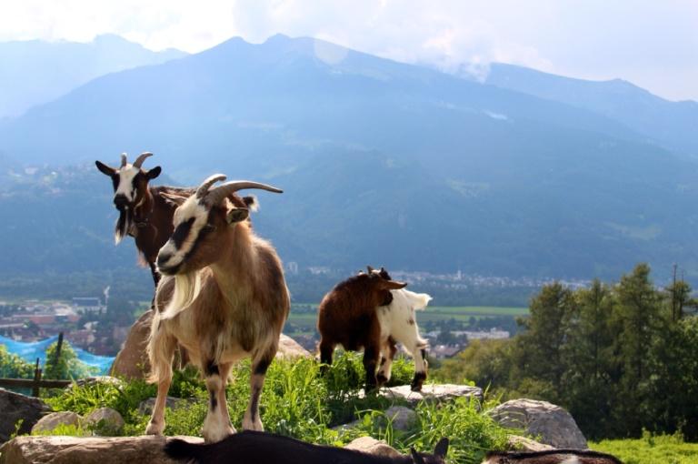 3.1409961600.goats