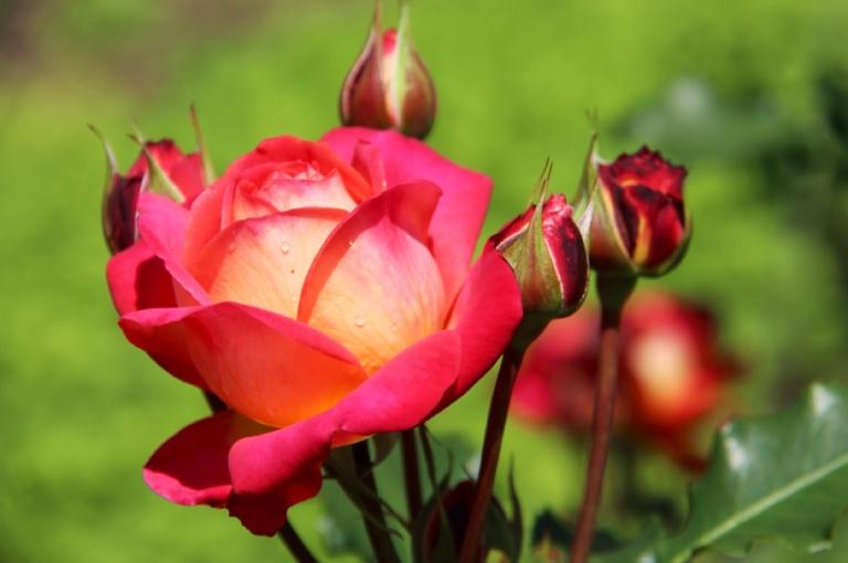 3.1409961600.rose