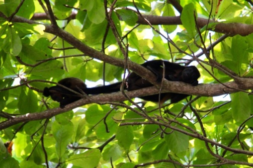 3.1414800000.howler-monkeys