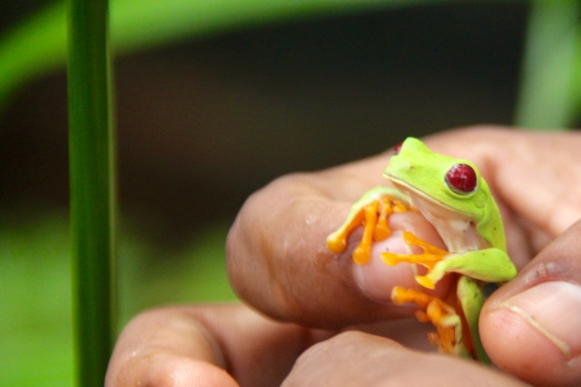 3.1415318722.red-eyed-tree-frog