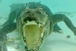 5.1478663095.crocodiel