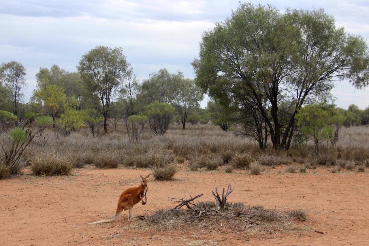 5.1478663095.kangaroos
