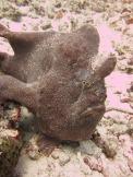 1.1326125871.frog-fish