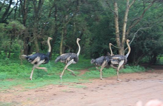 1.1326611064.ostrich-running-away