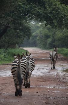 1.1326611064.zebra